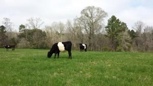grass fed cows